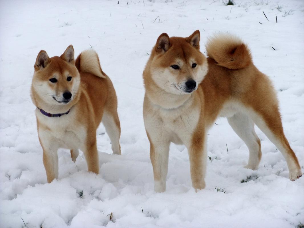 Dogs Like Shiba